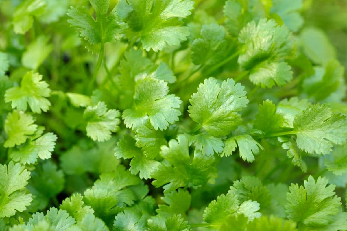 Cilantro is popular in Mexican dishes.