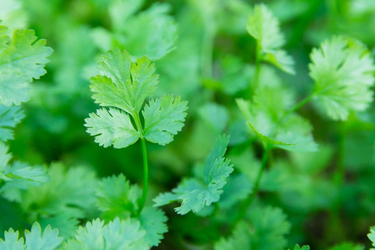 Cilantro is a leafy plant to grow in spring or fall.