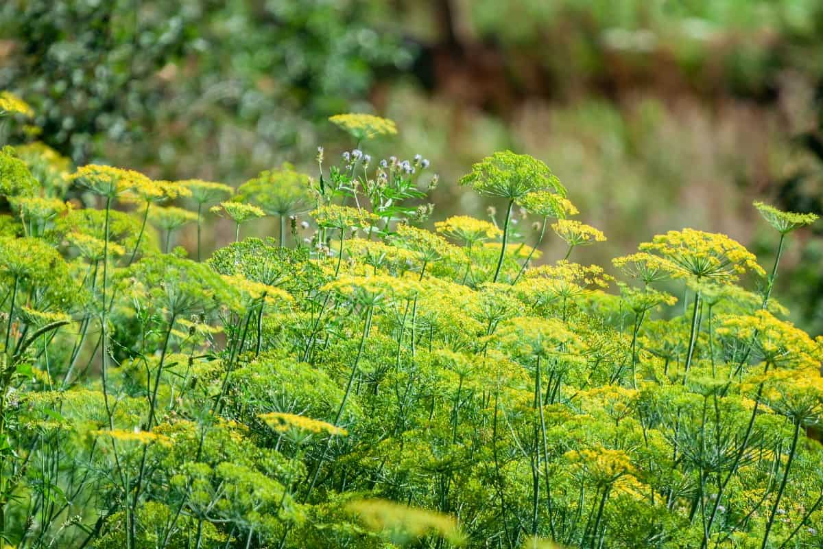 Cilantro attracts many beneficial insects.