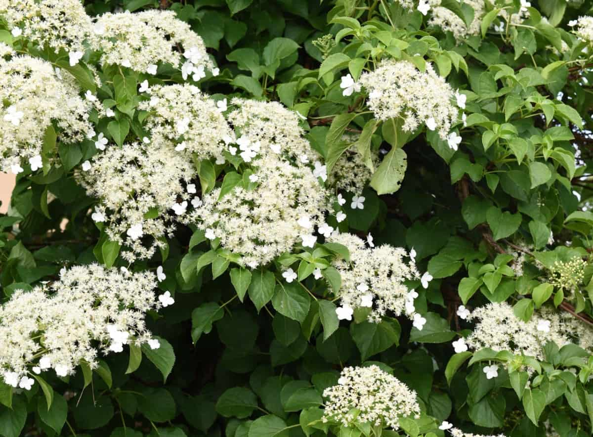 Climbing hydrangeas require support as they are heavy vines.