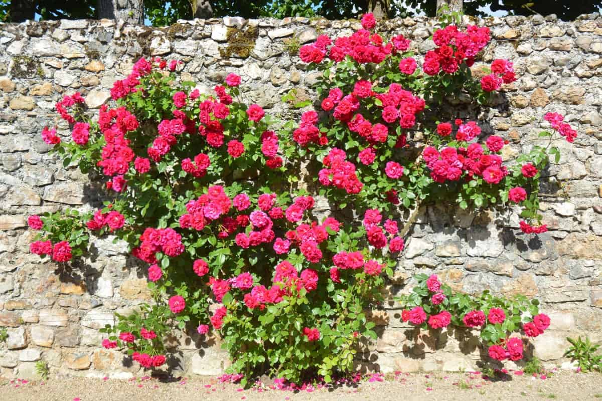 As long as you don't overwater them, climbing roses are very disease-resistant.