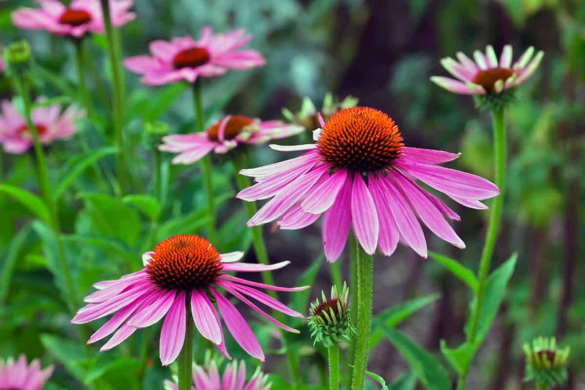 Birds and bugs love coneflowers.