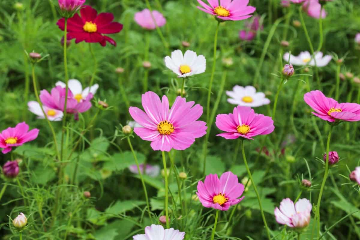 Cosmos is easy to grow and maintain.