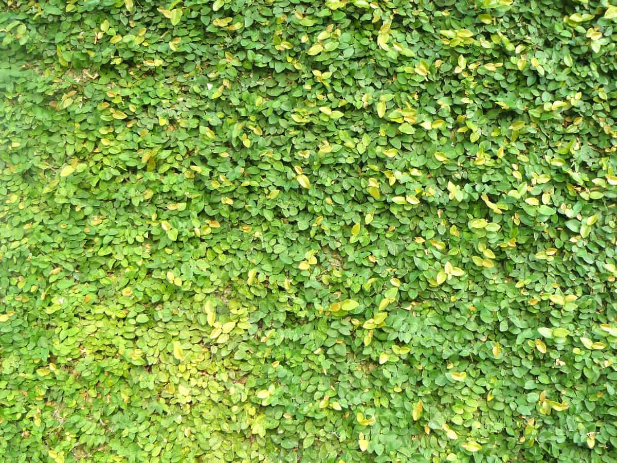Creeping fig only survives outside in zones 8 or higher.