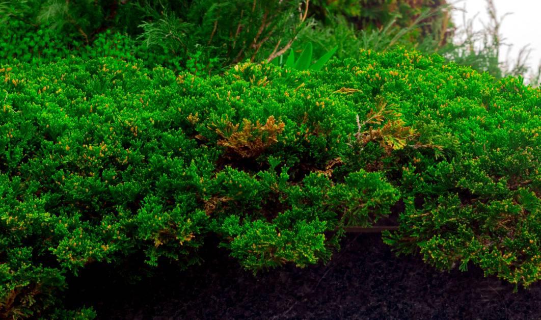 Creeping juniper has a pleasant evergreen aroma.