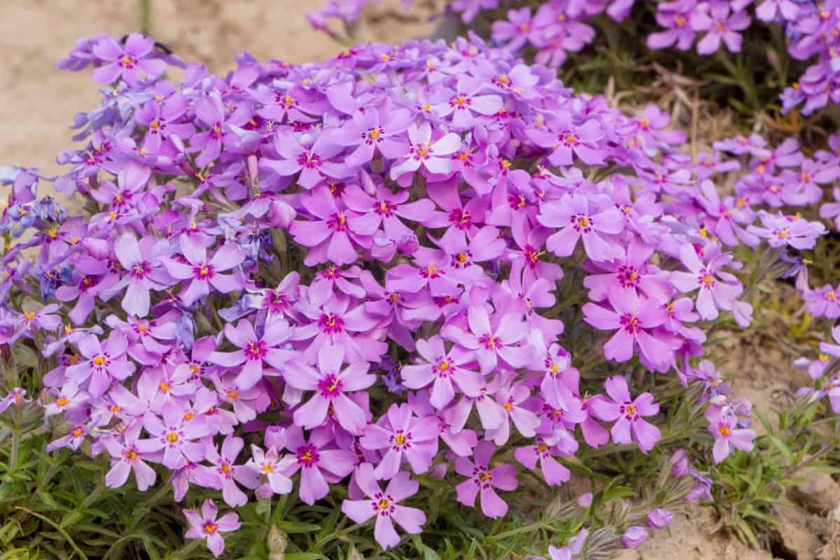 Creeping phlox is a pretty, low-growing perennial plant.