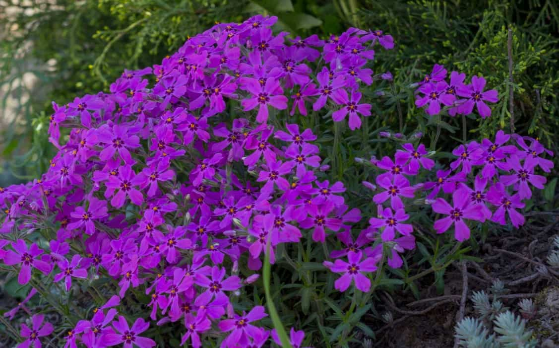 Creeping phlox even thrives in poor soil.