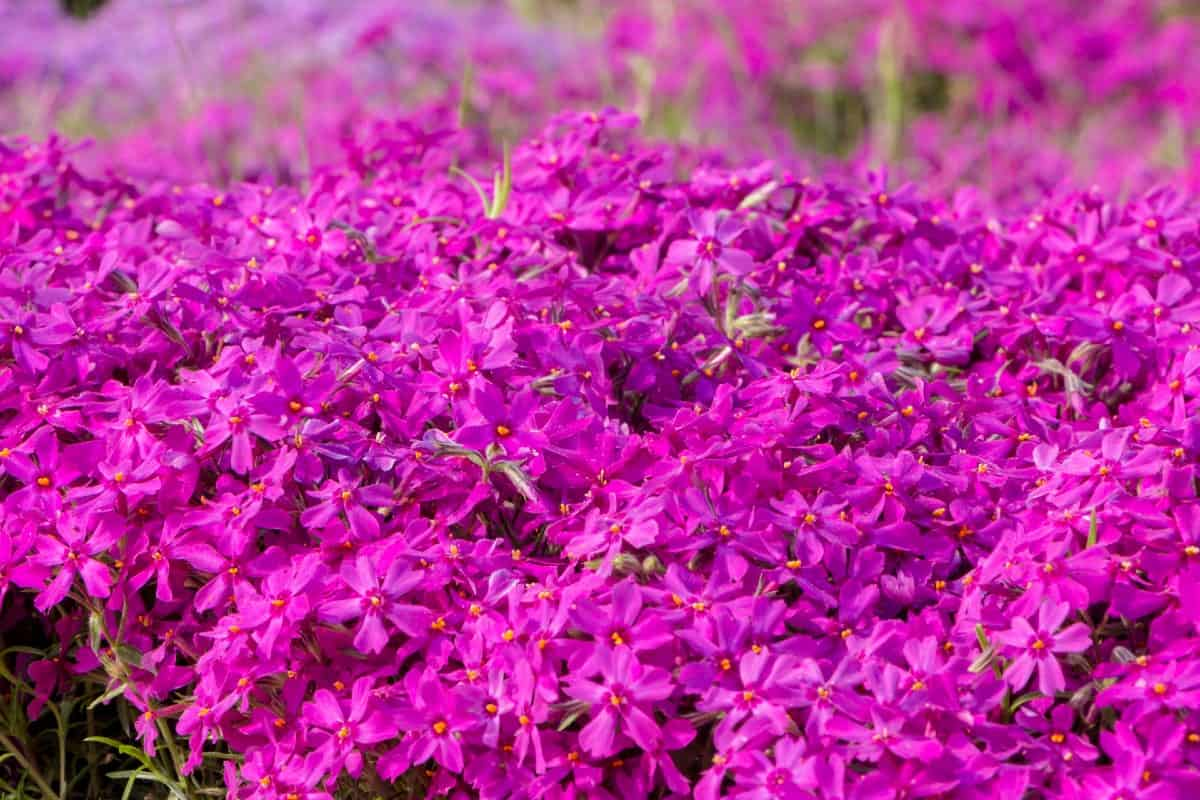 Creeping phlox is a semi-evergreen plant that loves the sun.