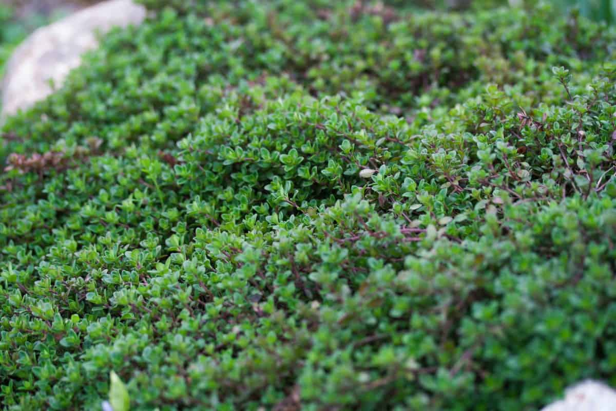 Creeping thyme is a member of the mint family.