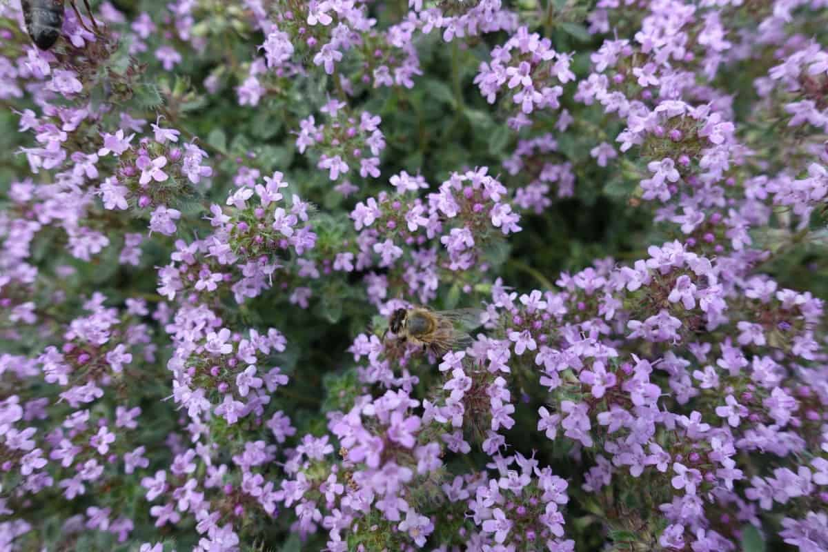 Creeping thyme makes an excellent lawn substitute.