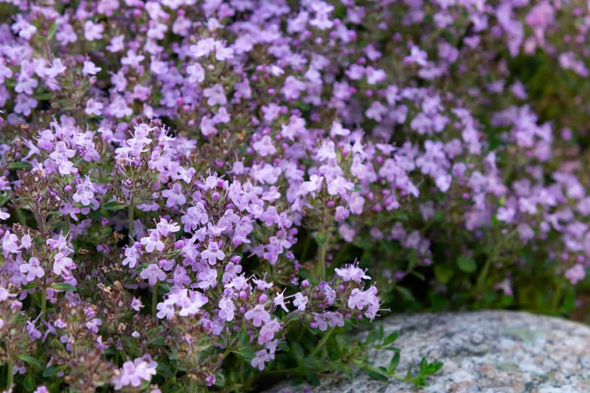 Creeping thyme is a low growing ground cover.