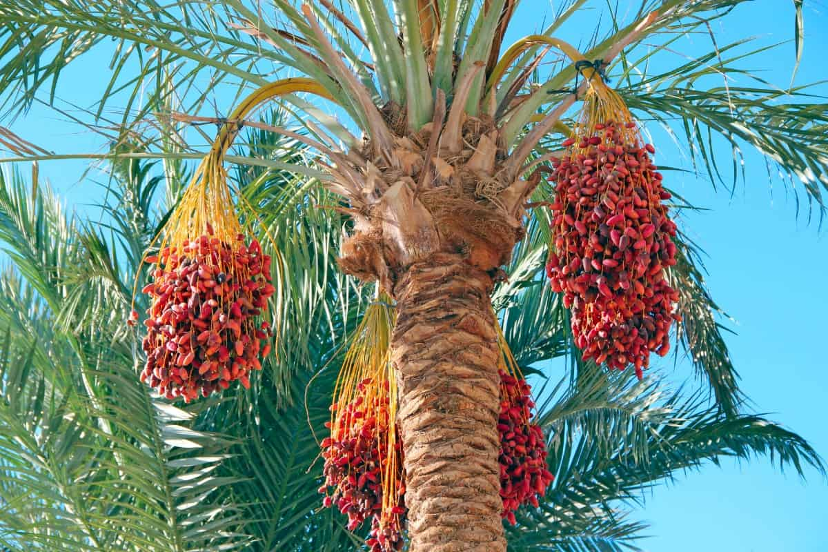 The date palm tree is cold hardy to 20 degrees Fahrenheit.