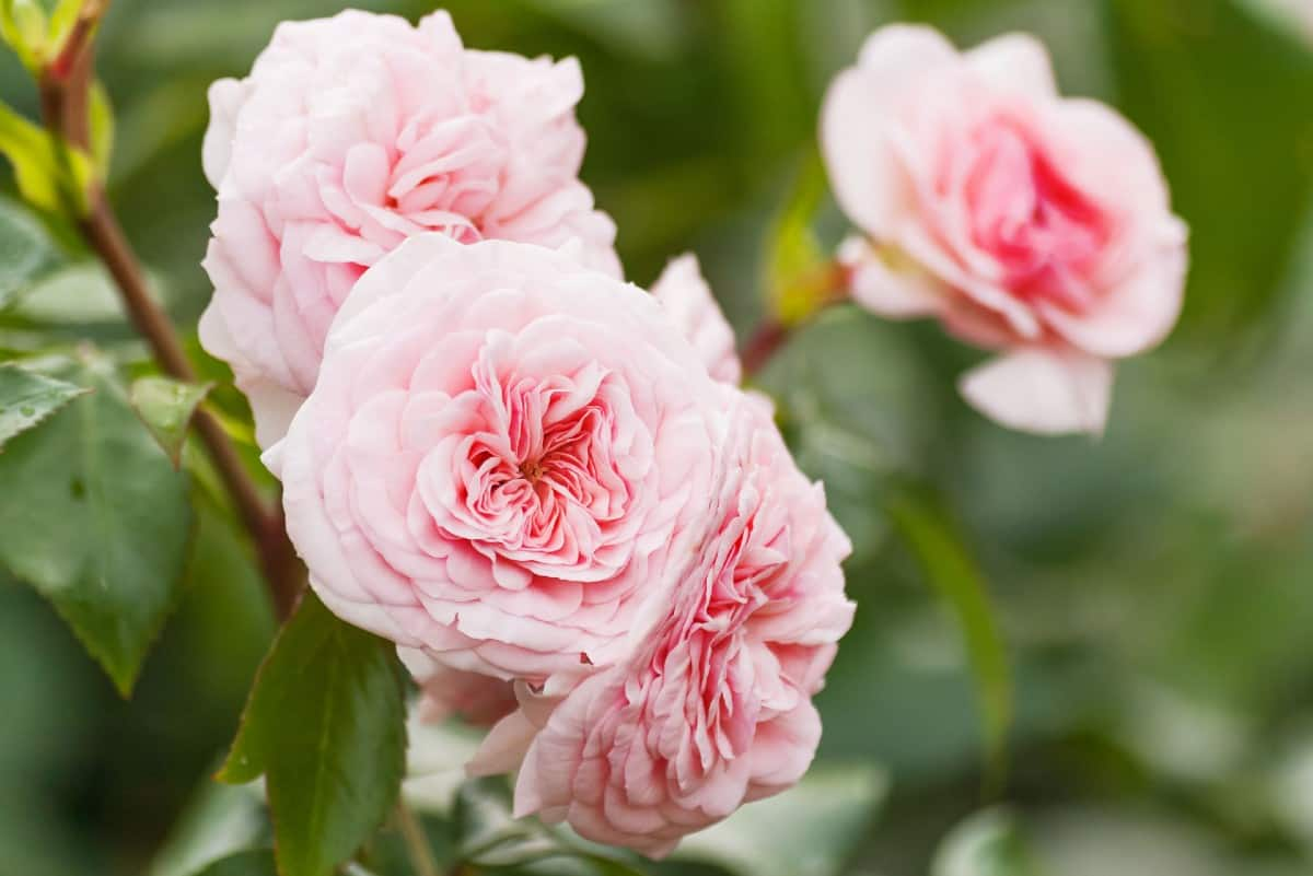 David Austin roses are long-blooming varieties.