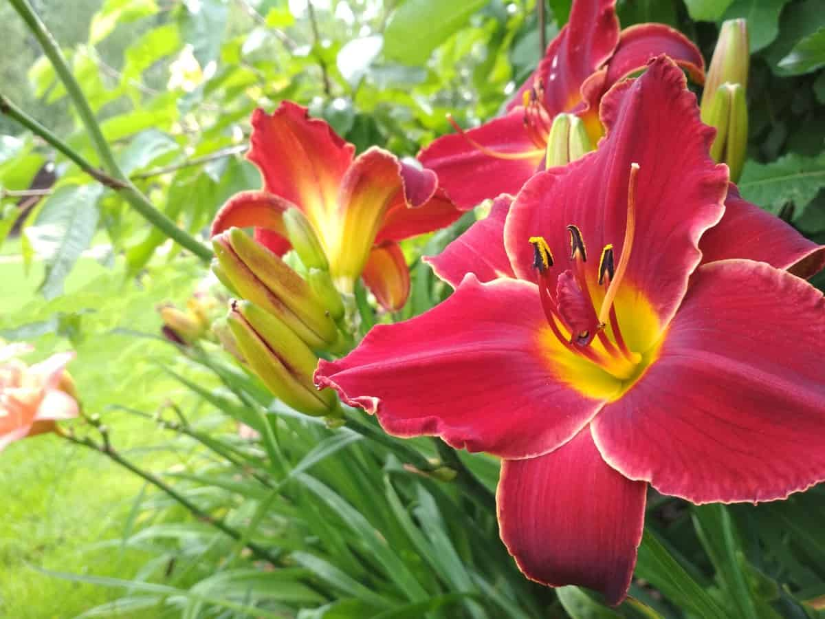Daylilies have furry stems that repel slugs.