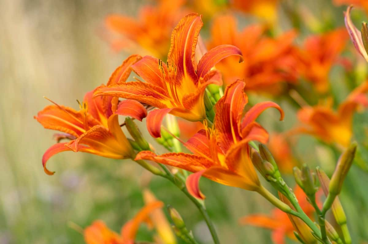 Daylilies don't mind wet soil as long as it drains well.