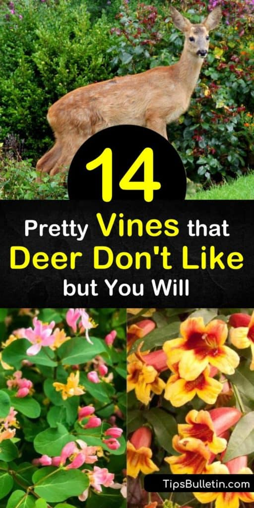 Deter unwanted wildlife with deer resistant plants like wisteria, honeysuckle, and clematis, while attracting important pollinators like hummingbirds. These flowering vines offer blooms of blue, pink, and white flowers without enticing deer that snack on plants. #deer #resistant #vines
