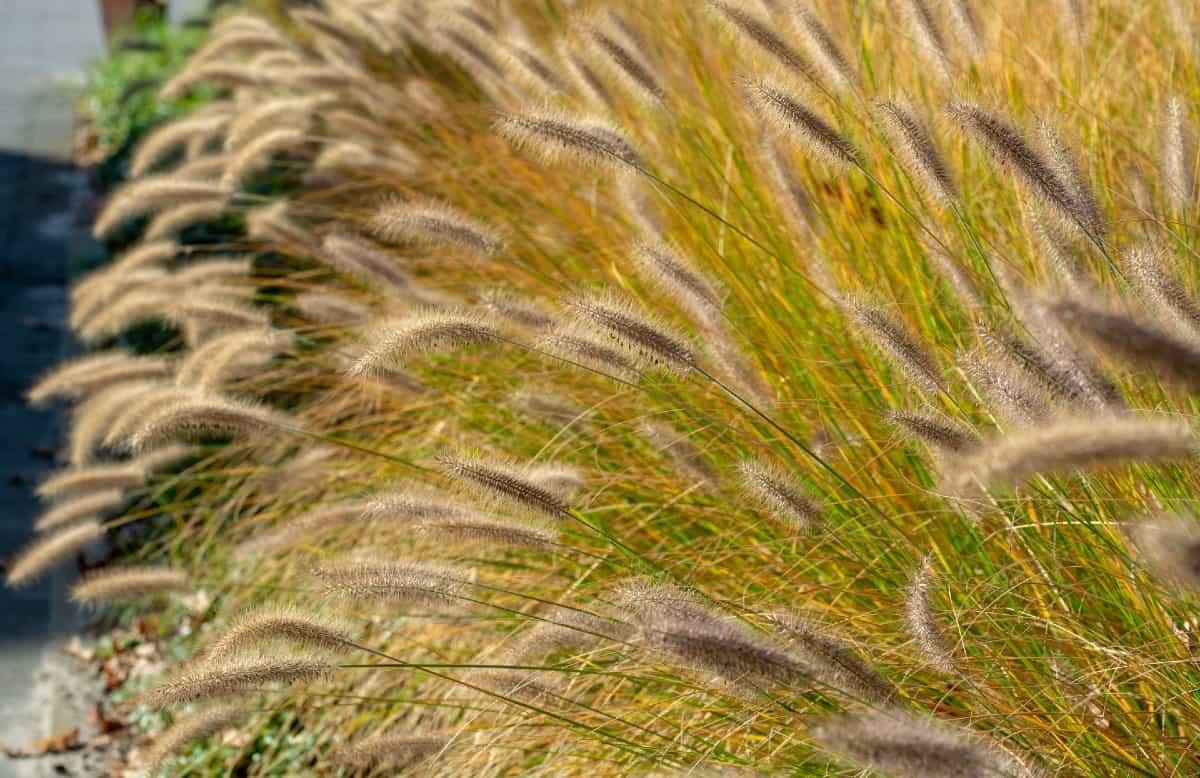 Desert plains fountain grass is a popular ornamental grass.