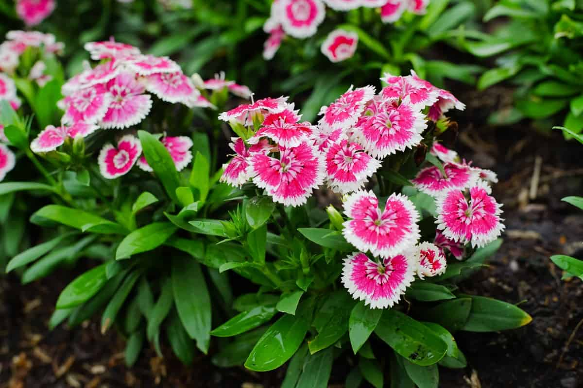 Dianthus or pinks have a pleasant vanilla scent.