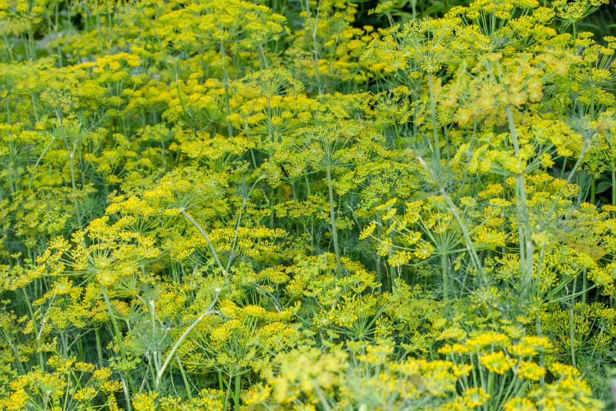 Dill is a summer-blooming herb.
