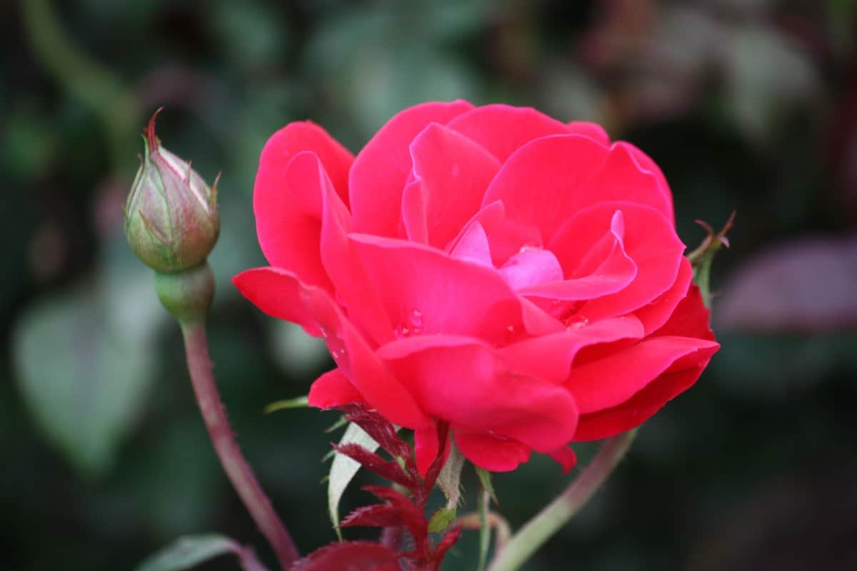 The double knock-out rose offers continuous blooms.