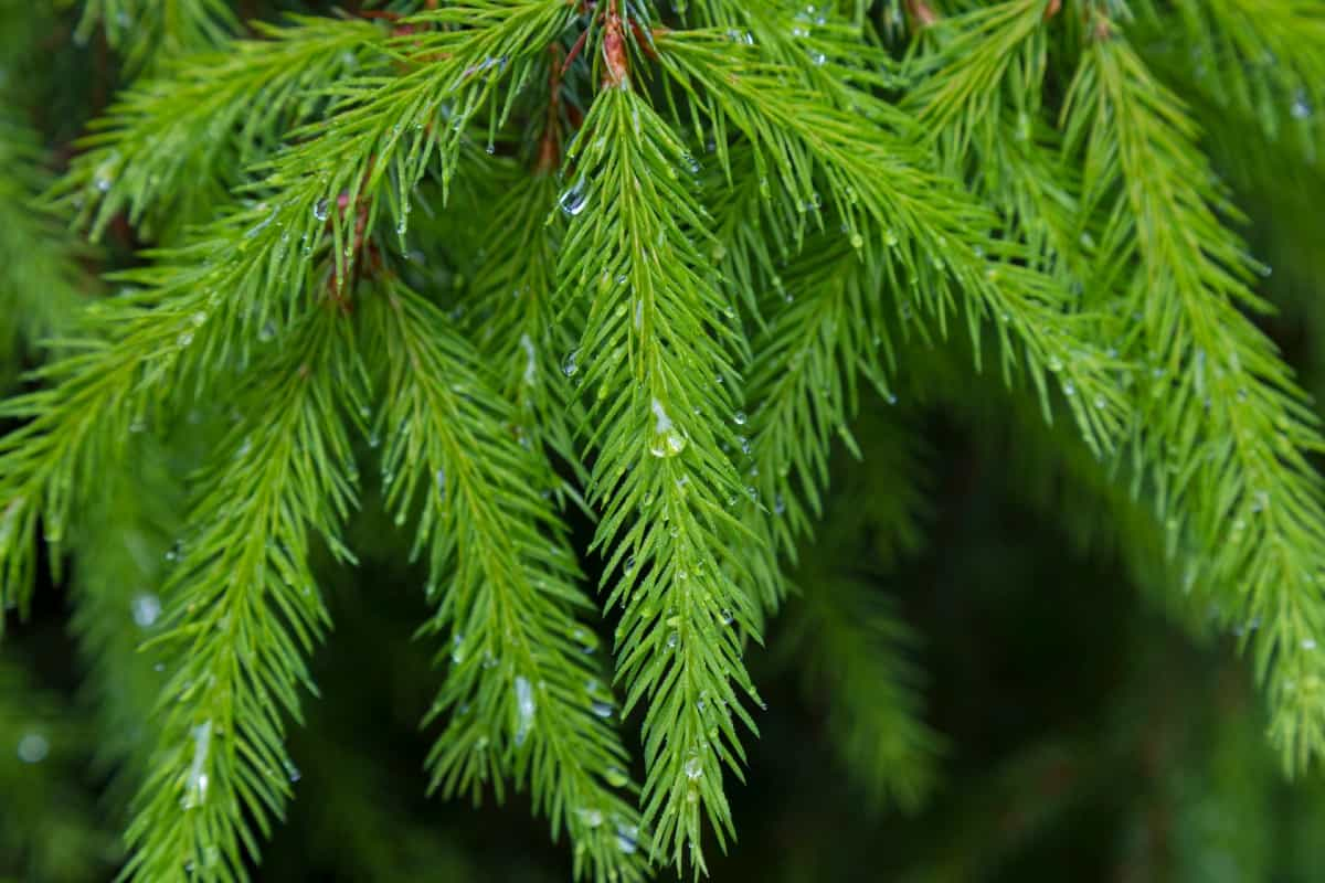 The dwarf Norway spruce only gets about four feet tall.