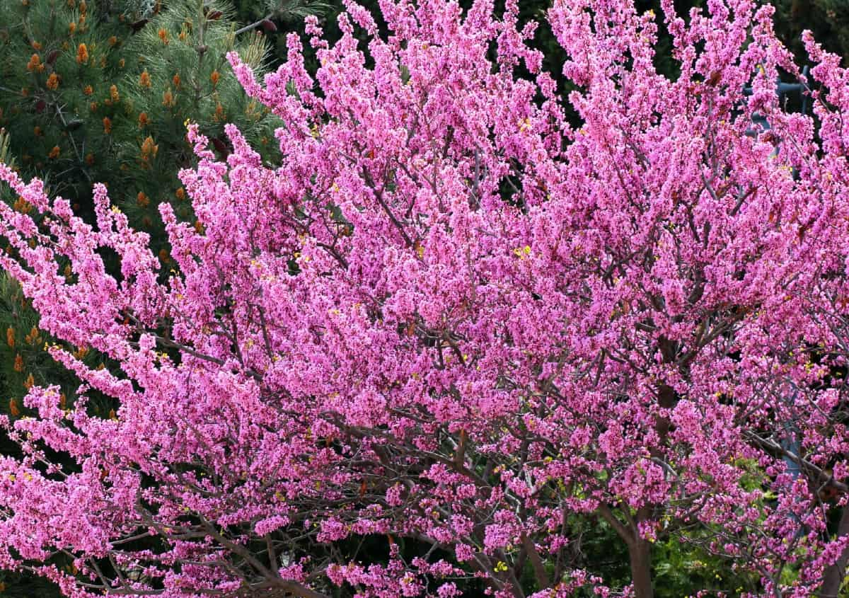 The Eastern redbud is one of the earliest blooming trees.