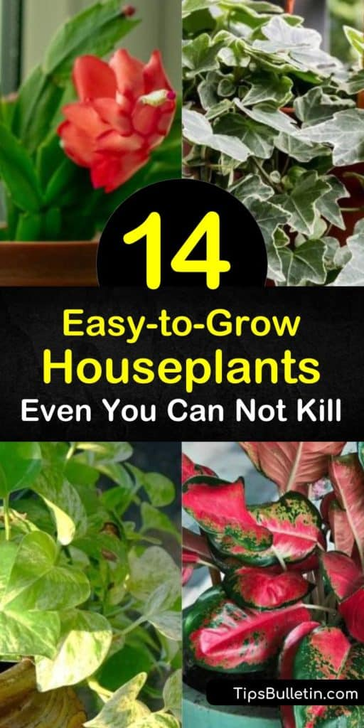 Discover how to grow indoor plants even if you have a brown thumb. Choose a low maintenance spider plant, jade plant, snake plant, Chinese evergreen, pothos, or philodendron and place them in the perfect spot in your home. #easy #growing #houseplants #plants