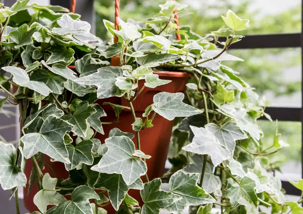 English ivy is an aggressive grower.
