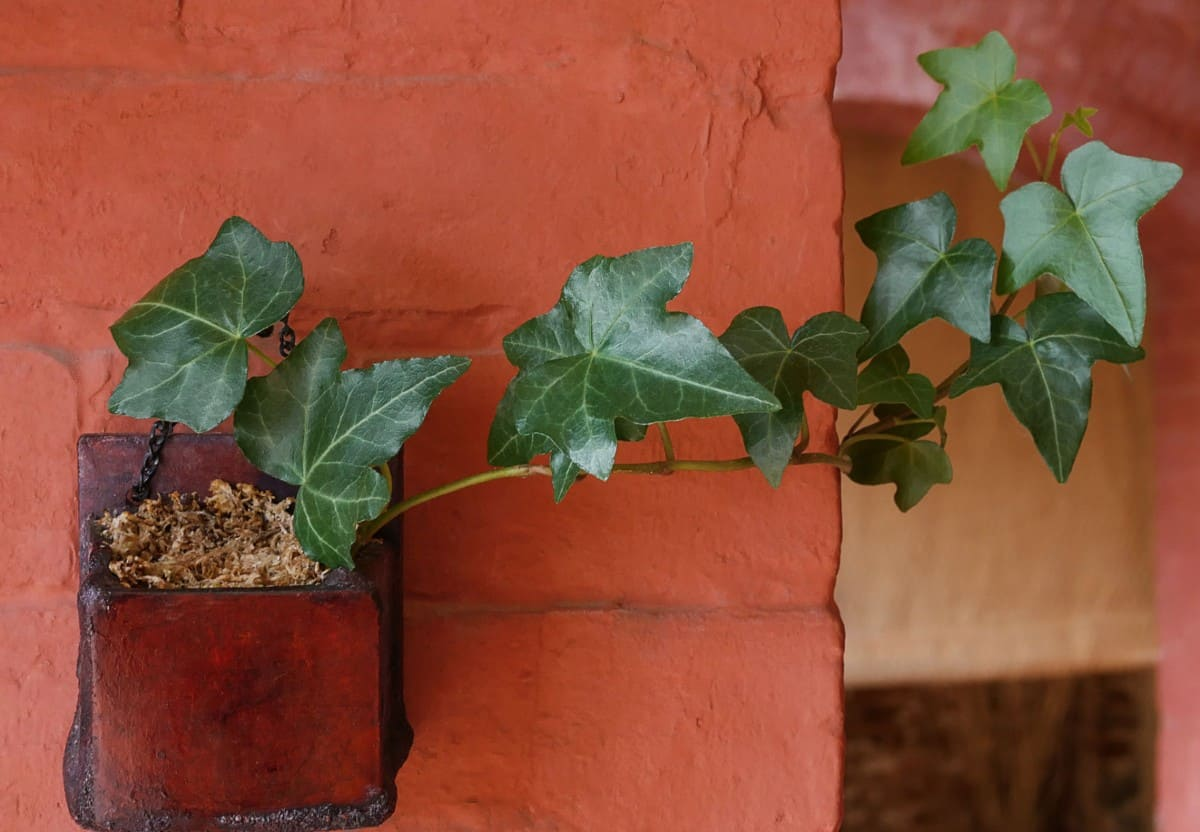 English ivy needs little care or attention and still thrives.