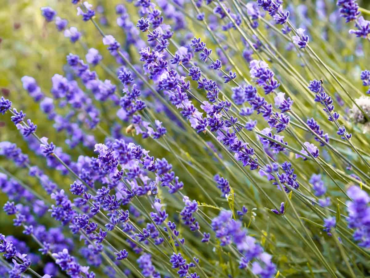 English lavender is a very low maintenance plant.