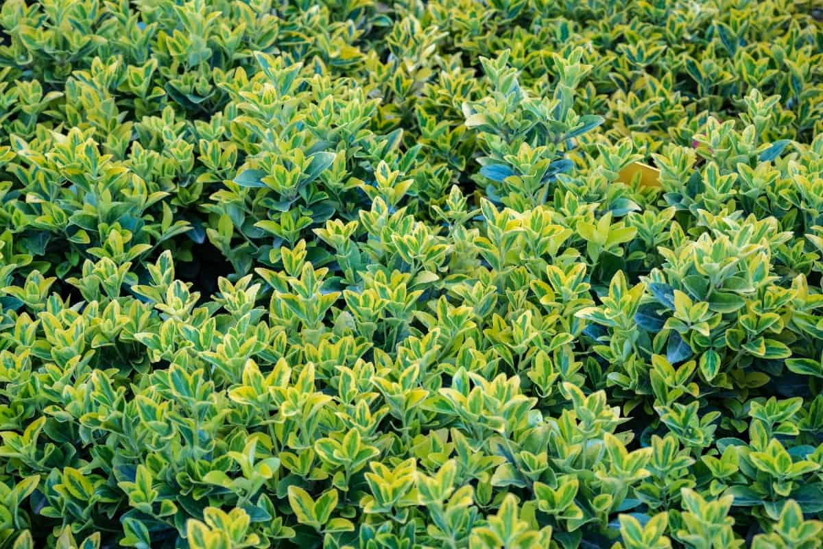 Emerald 'n gold euonymus has bright variegated foliage.