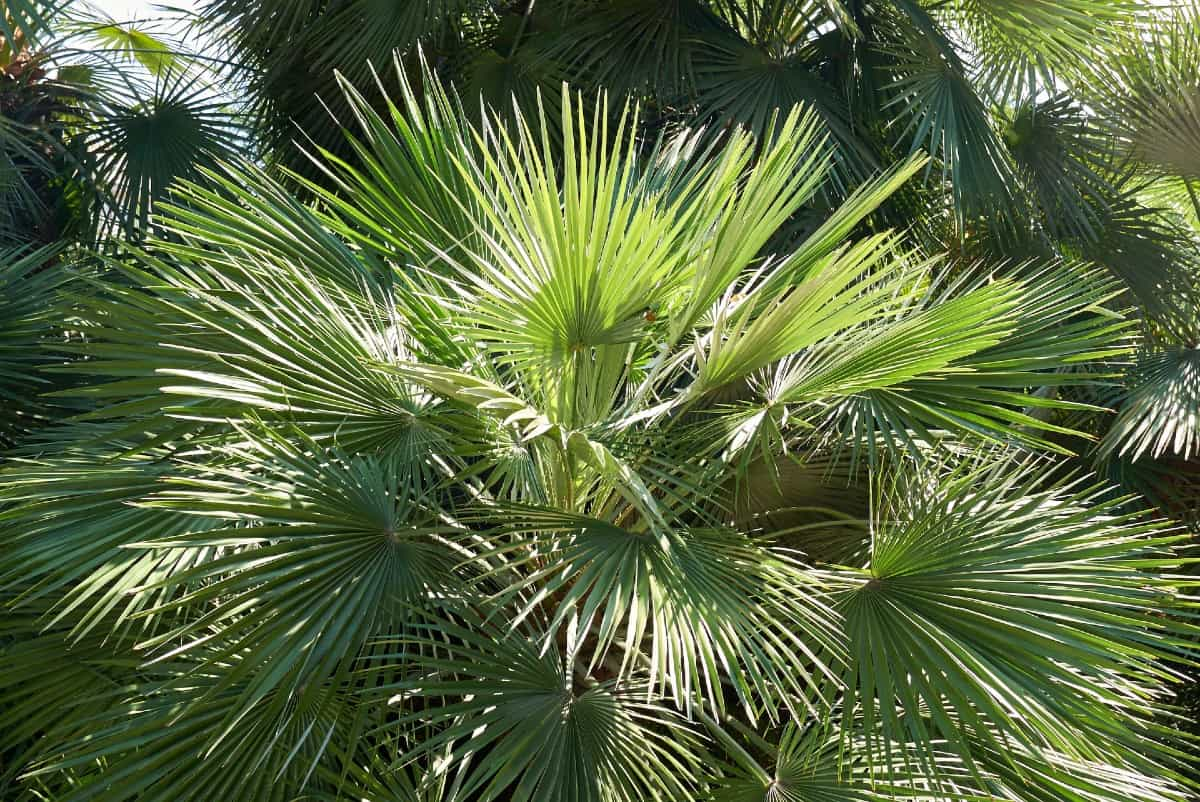 The European fan palm can handle cold temps and only grows to about five feet tall.