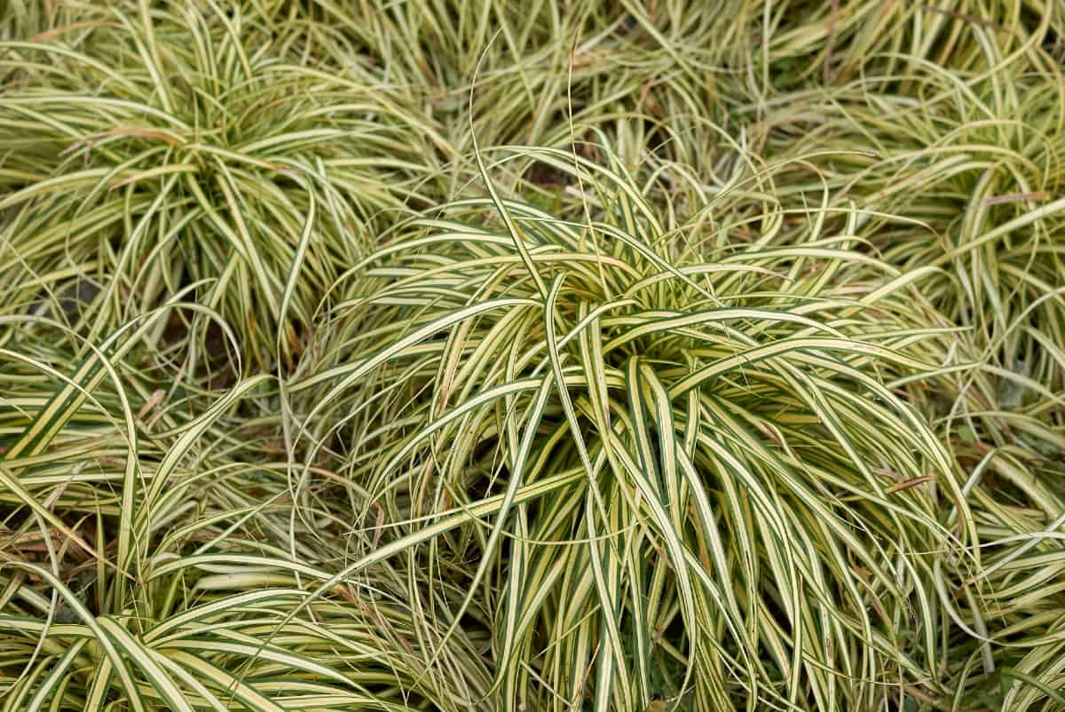 Evergold sedge grows in attractive low mounds.