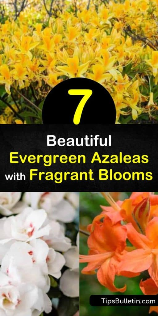 Discover evergreen azaleas that add fragrance to a yard. Try sweet azalea for white flowers with red stamens, Western azalea for pink flowers, or bi-colored Exbury azalea for late spring color. Plant deciduous azaleas in acidic soil and full or partial sun. #azaleas #fragrantazaleas #scentgarden