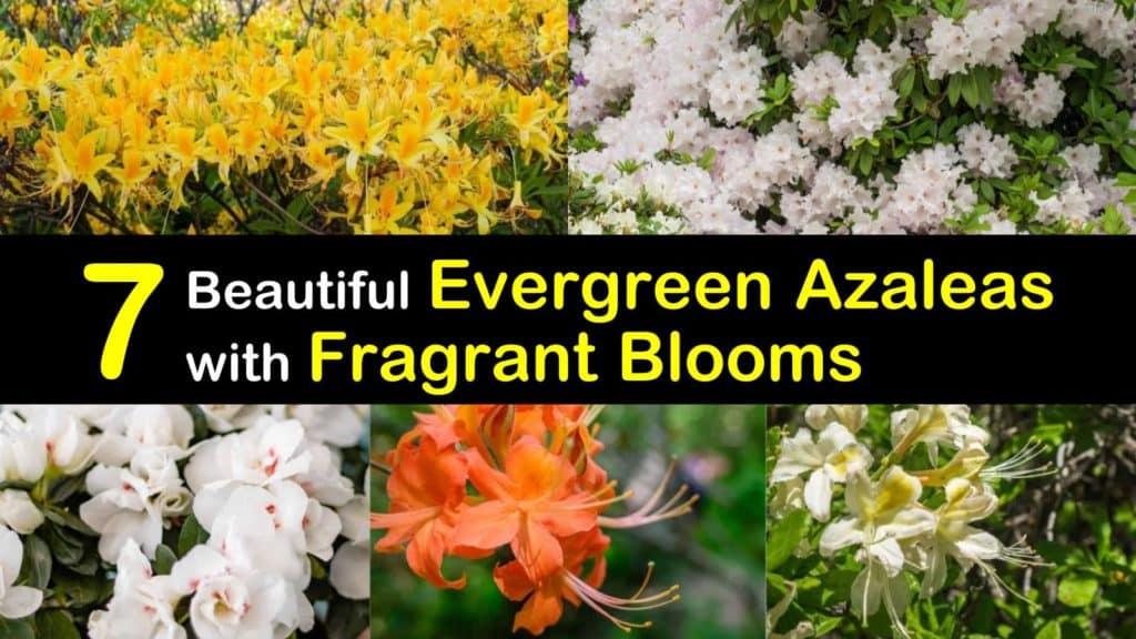 Evergreen Azaleas that Smell Good titleimg1