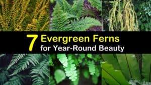 Evergreen Ferns titleimg1