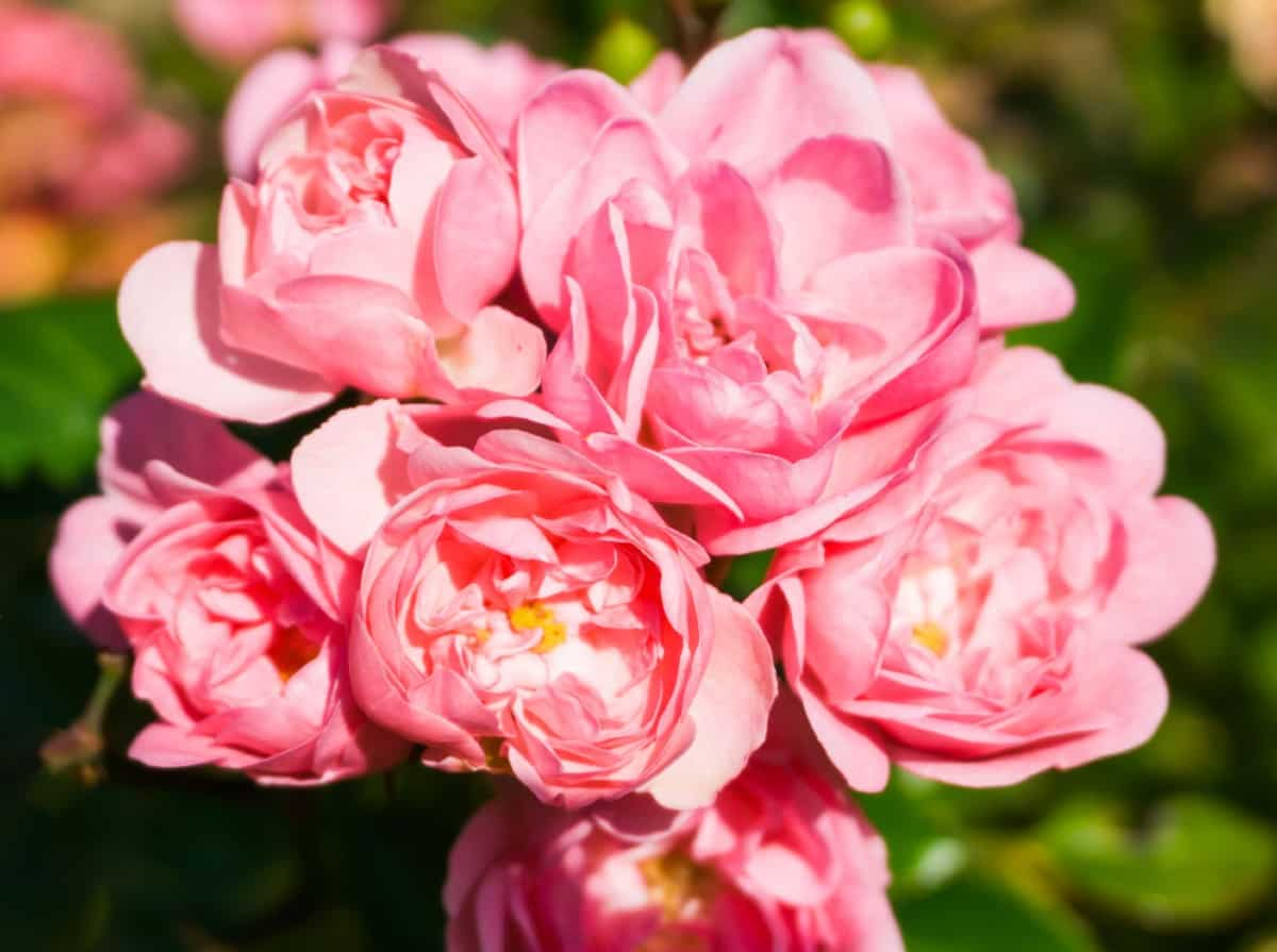 The fairy rose is a favorite of many.