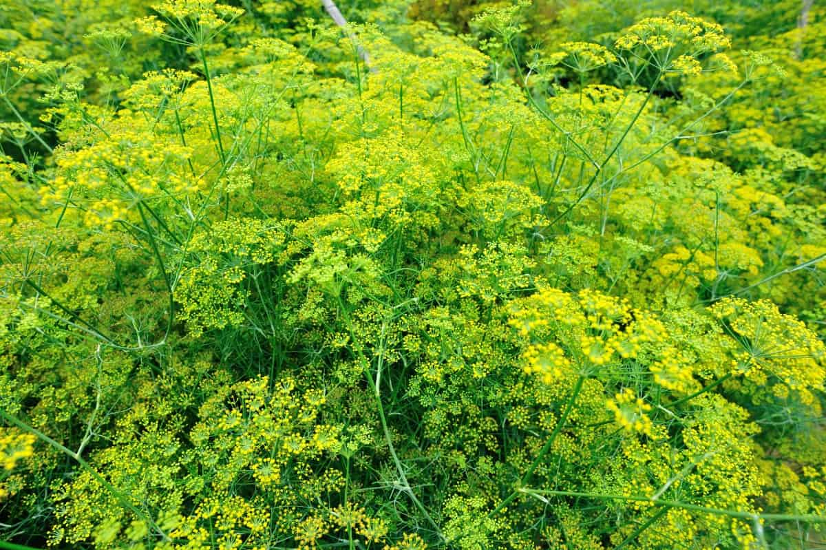 Fennel is ideal for repelling aphids.