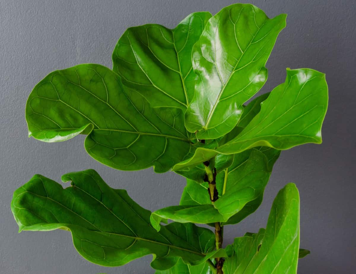 The fiddle leaf fig is a tall tropical plant that is at home in the bath.