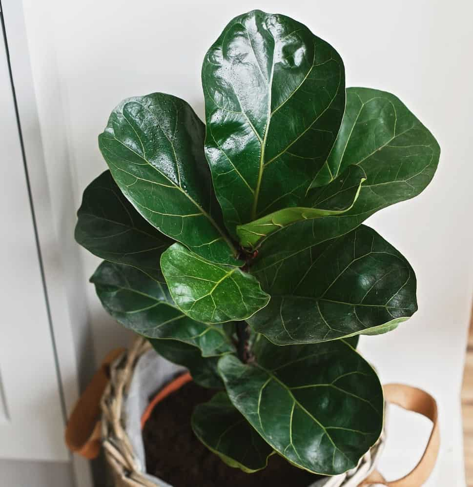 The fiddle leaf fig has large leaves.
