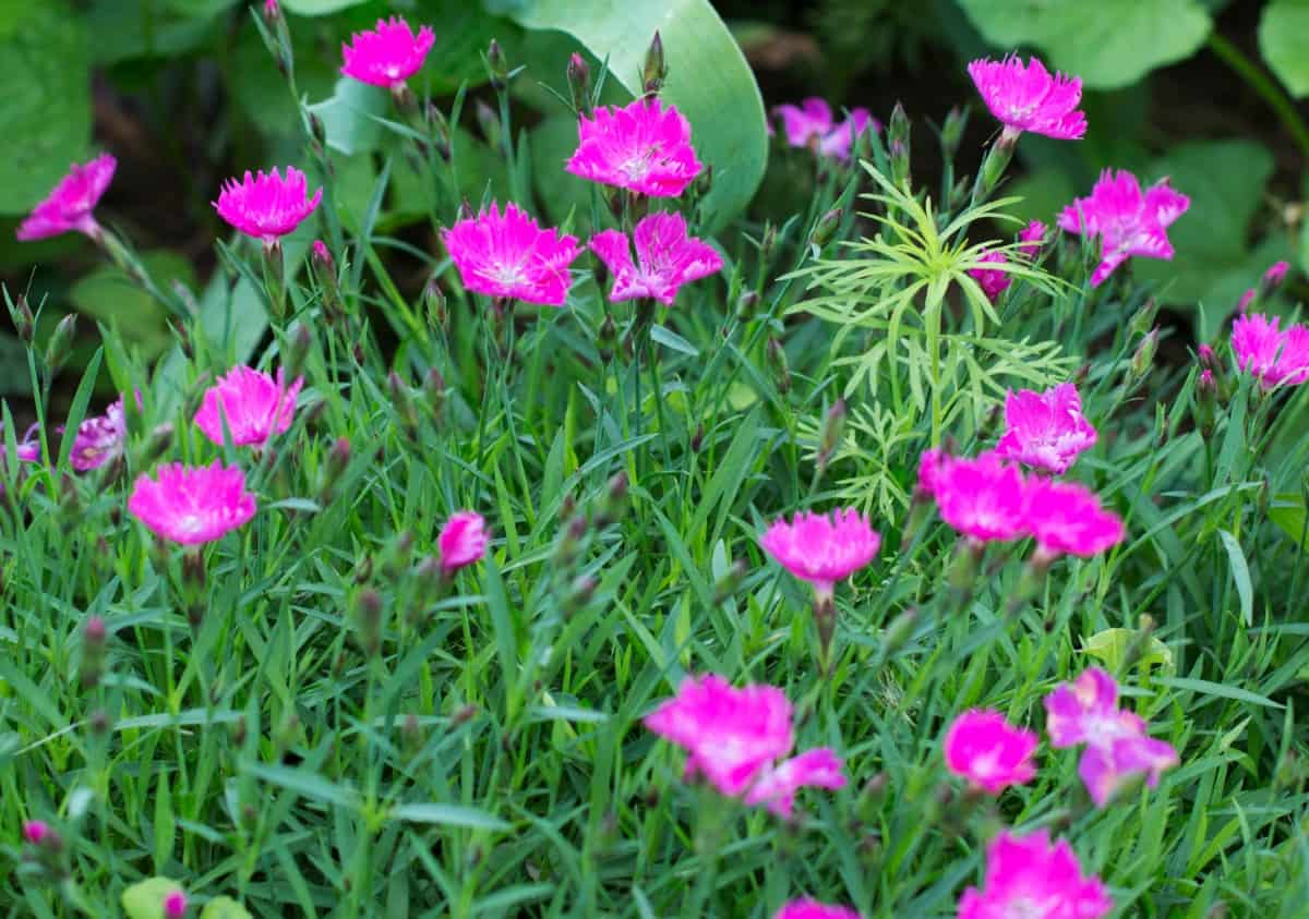 Firewitch pink smells like cloves.