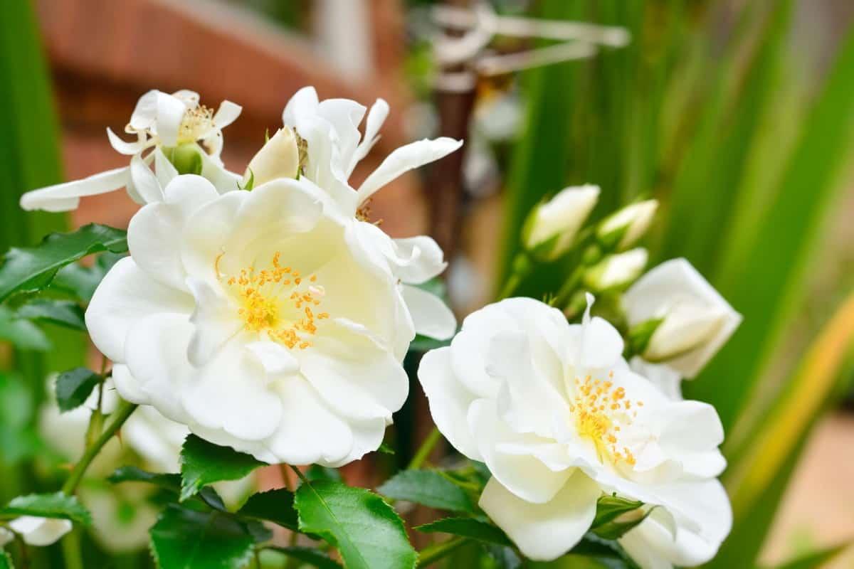 The flower carpet rose is salt and wind tolerant.