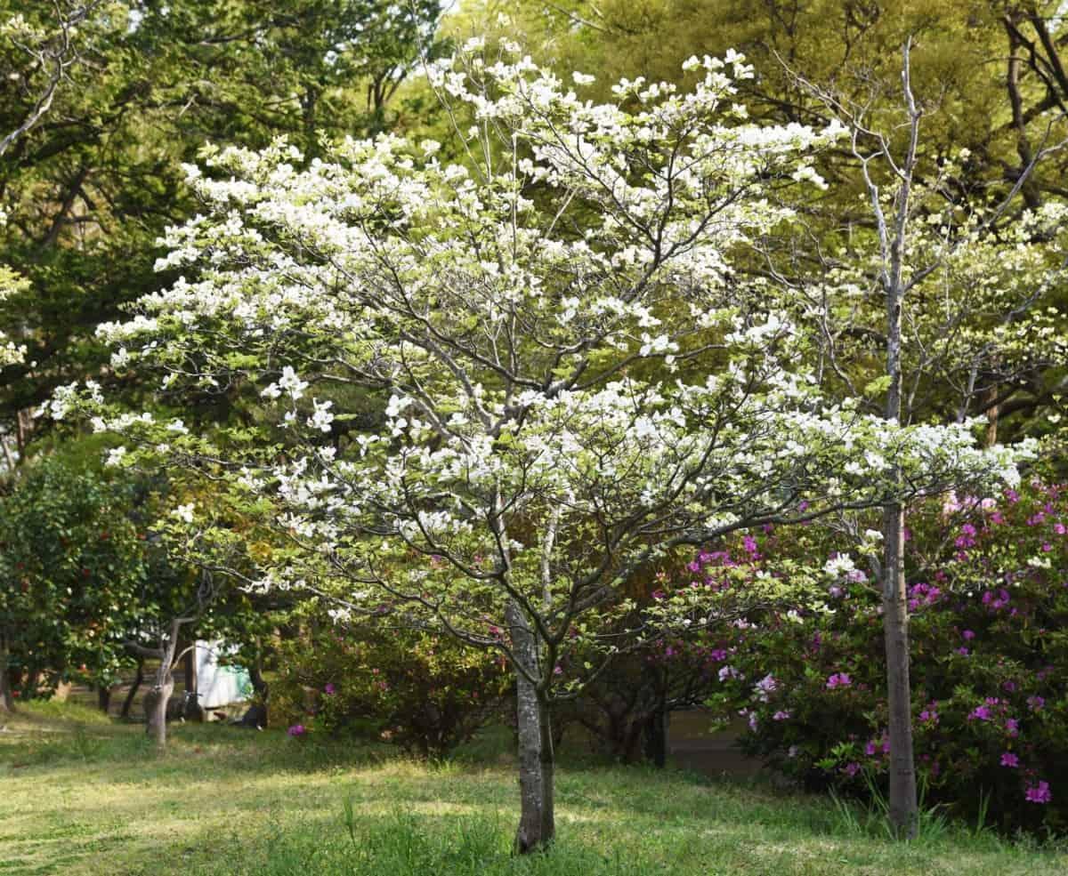 Flowering dogwood has beautiful spring flowers.