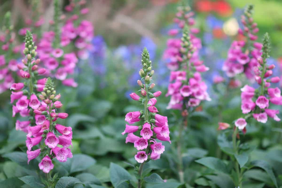 The foxglove easily attracts pollinators.
