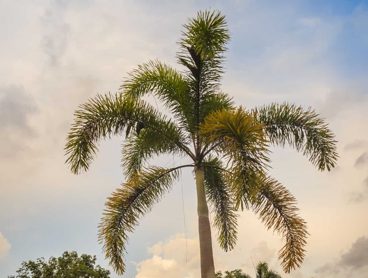 Foxtail palms are fast growers.