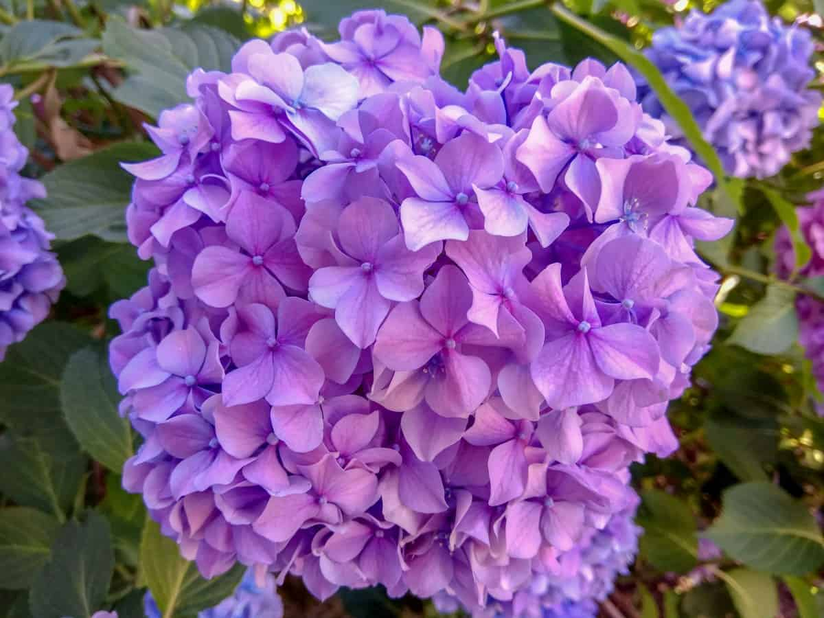 French hydrangeas are cold-hardy shrubs.