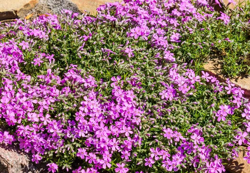 Hummingbirds and butterflies love garden phlox flowers.