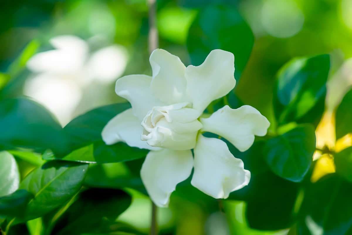 Gardenias are a popular fragrant flower.