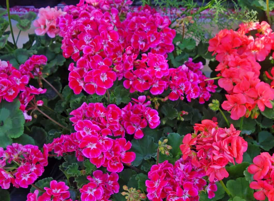 Geraniums are hairy annuals that slugs don't like.