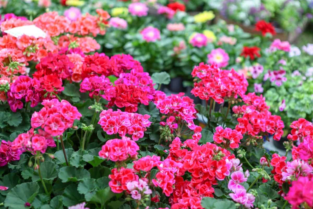 Geraniums are easy-care perennials as long as they have the right kind of soil.